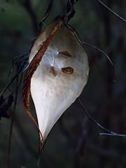 milkweedpod (alfredo_tomato) Tags: lexington kyolympusepl1yashinondx