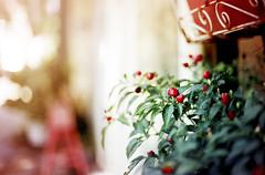 (brandonhuang) Tags: light red dog plant blur film leaves analog 50mm leaf berry nikon warm bokeh analogue nikkor ais f12 f801 brandonhuang