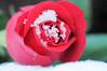 Frozen in Our Hearts (Chris Willis 10) Tags: christmas snow simon loss rose frozen friend heart mum irene grief sait simonsait