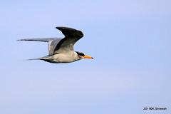 River Tern in Flight..* (K. Shreesh) Tags: india birds pune kavdi canonef400mmf56l canoneos50d