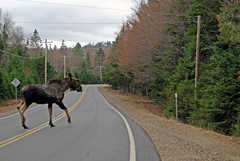 MOOSE! (Bob Gundersen) Tags: lake berlin cars interesting nikon traffic image shots map country tracks picture newengland newhampshire places whitemountains nh moose franconia deer mtwashington scenes animalplanet gundersen livefreeordie northernnewhampshire dixvillenotch d40x greatnorthwoods abovethenotches bobgundersen