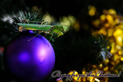 Praying for you this Christmas! (HawaiianVirtualTours) Tags: christmas hawaii nikon flickr prayer praying christmastree christmaslights celebration ornament bulbs prayingmantis garnish mantid kailuakona 2011 explored nikond7000 mygearandme hawaiianvirtualtours