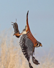 """My Vole and I Are Outta Here"" (Keith Carlson) Tags: falcons raptors americankestrel hawks falcosparverius"