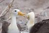 Albatros de Galápagos (ik_kil) Tags: ecuador galapagos criticallyendangered wavedalbatross hoodisland phoebastriairrorata islasgalápagos islaespañola iucncr albatrosdegalápagos reproductorendémicodeislaespañola categoríaiucnenpeligrocrítico
