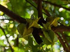Carambola (katrin glaesmann) Tags: november holiday costarica botanicalgarden starfruit 2011 karambola sternfrucht averrhoacarambola karambole esquinasrainforestlodge casaorchidea