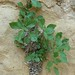 "Parietaria diffusa Mert. ex W.D.J. Koch, Urticaceae • <a style=""font-size:0.8em;"" href=""http://www.flickr.com/photos/62152544@N00/6596774171/"" target=""_blank"">View on Flickr</a>"