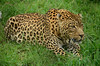 DSC_7303 (Tartarin2009) Tags: africa travel southafrica happy nikon wildlife leopard happynewyear thegalaxy specanimal platinumheartaward d7000 coth5 allnaturesparadise tartarin2009 allofnatureswildlifelevel1 allofnatureswildlifelevel2 allofnatureswildlifelevel3 allofnatureswildlifelevel4 allofnatureswildlifelevel5 allofnatureswildlifelevel8 allofnatureswildlifelevel6 rehabilitationcenterofmoholoholo allofnatureswildlifelevel7 allofnatureswildlifelevel9 sunrays5 magicmomentsinyourlifelevel1 magicmomentsinyourlifelevel4