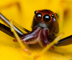 Viciria praemandibularis (Portrait) (Zeen.) Tags: red portrait nature spider eyes nikon bokeh zeen hussain salticidae hirzi elitebugcompetition