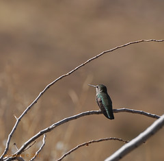 The Hummingbird... (Oomphoto - Nancy G. Villarroya) Tags: bird hummingbird bokeh twigs nikond90 nikonafsvrzoomnikkor70300mmf4556