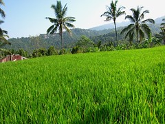 Rice (joie de poulpe) Tags: bali indonesia ricefields munduk