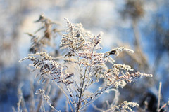 {White weed} (Farmgirl18) Tags: blue winter white snow cold weed frost bokeh hoarfrost
