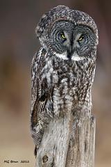Great Grey Owl - (Jan 2012) (Malcolm Benn) Tags: ontario canada bird greatgreyowl owl 2012 greatgrey ggo birdperfect mgbenn malcolmbenn
