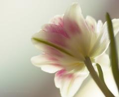 (Ole Lukoie) Tags: flowers light tulips bokeh    micarttttworldphotographyawards micartttt michaelchee