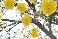 Luque, Paraguay (Pati Guillen) Tags: luque lapachos tajy