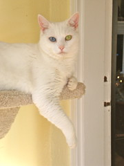 Charlie's Eyez (rootcrop54) Tags: charlie cattree cat white thankyougoathouserefuge bestofcats boc0112 vg~catsgallery kittyschoice kedi chat 猫 kočka kissa chatte γάτα macska köttur kucing gatto 고양이 kaķis katė katt kot gato pi-sică кошка mačka maček gorbe cc1000 cc2000
