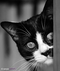 sammy b&w (Sergisam) Tags: blackandwhite pet white black blancoynegro blanco animal cat negro gato mascota