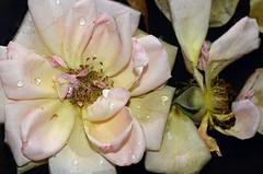 HUNTER VALLEY-16 (D80SYL) Tags: rose closeup closeuprose