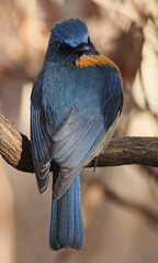 Tickells' Blue Flycatcher (Rahul Singh Lamba) Tags: india birds pune tickellsblueflycatcher cyornistickelliae tamron70300vc