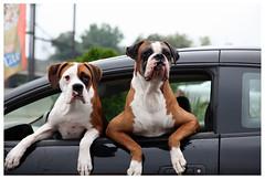 Levittown (Michael Ast) Tags: dogs boxerdog boxer mansbestfriend paws anthropomorphism anthropomorphic jowls levittown floppyears anthropomorphise levittownpa levittownpennsylvania englishboxer
