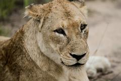 African Safari 2011 (Fig&Honey) Tags: southafrica african wildlife safari wildanimals