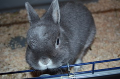 Nosey Little Fella (Bessierocks' Photography) Tags: cute bunnies silver nose nikon sweet small adorable handsome ears whiskers precious rabbits nosey d5100