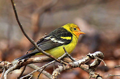 Western Tanager ~Very Rare (William  Dalton) Tags: westerntanager pirangaludoviciana rarebird alliarestatepark rarenewjerseybird