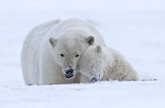"""Eisbären, Arctic National Wildlife Refuge, Alaska (5) • <a style=""""font-size:0.8em;"""" href=""""http://www.flickr.com/photos/73418017@N07/6730317275/"""" target=""""_blank"""">View on Flickr</a>"""