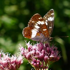 Kleiner Eisvogel (Aah-Yeah) Tags: white butterfly bayern camilla admiral kleiner schmetterling achental limenitis chiemgau eisvogel tagfalter