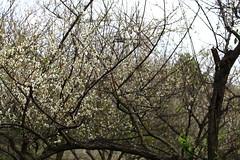 IMG_6037 (Sandor's Album) Tags: flowers flower blossom plum hsinchu taiwan       nationaltsinghuauniversity drmeimemorialgarden