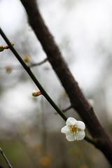 IMG_6190 (Sandor's Album) Tags: flowers flower blossom plum hsinchu taiwan       nationaltsinghuauniversity drmeimemorialgarden