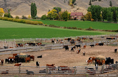 CATTLE FARM (CANADA, BRITISH-COLUMBIA, ALKALI-LAKE) (KAROLOS TRIVIZAS) Tags: canada mountains fence cows britishcolumbia barns cottage straw hills fields manor chaff cultivation trough slopes cattlefarm digitalcameraclub cattles cowfarm cattlebreeding alkalilake cattlegrowing blinkagain