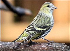 Siskin female (Judy's Wildlife Garden) Tags: female siskin judykennett knightonpowys