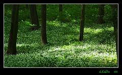 Garlic Forest (Lutz Koch) Tags: wood green forest hungary pentax selva bosque garlic grn wald foret ail ungarn bois aglio bosco knoblauch foresta zala ajo ramson brlauch k7 zld boschi hagyma transdanubien medvehagyma broadleavedgarlic pacsa zalamegye erd komitat magyarorszeg elkaypics szentpterr panninien districtzala