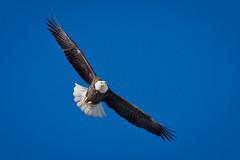 Sizing Me Up (jeff_a_goldberg) Tags: winter eagle baldeagle haliaeetusleucocephalus americanbaldeagle lockanddam13 dailynaturetnc11 birdstnc11 highqualityanimals dailynaturetnc12 birdstnc12