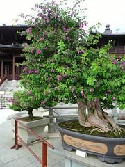 Hong Kong '11 (faun070) Tags: hongkong asia bougainvillea bonsai chilinnunnery