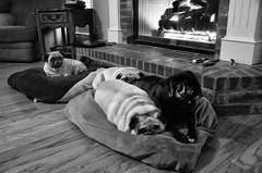 Pug Pile (Just Joe ( Finally getting the hang of this)) Tags: pets dogs with p pugs dailyphoto starts odc 365group blackandwhitenikon ourdailychallenge