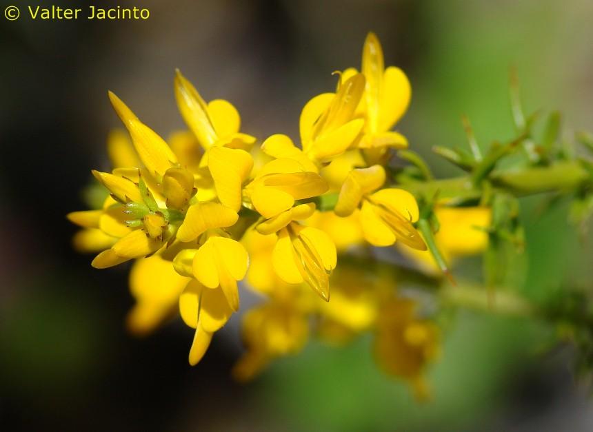 tojomolar genista triacanthos valter jacinto portugal tags flowers