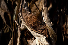 Texture (Bravo213) Tags: light shadow brown texture leaves dead cy challengeyouwinner pregamewinner