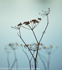 A Moment of Zen (dormant wild fennel detail, Point Reyes National Seashore) (Robin Black Photography) Tags: california wild detail coast flora bokeh ngc peaceful calm estuary zen pointreyes minimalism edible fennel minimalistic scent naturesbest wetland nationalgeographic forage aroma nationalseashore invasiveplant foeniculumvulgare outdoorphotographer canon5dmarkii robinblackphotography