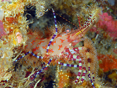 Saron Shrimp