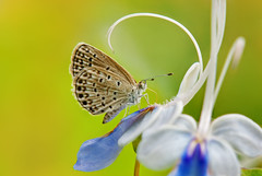 (Fu-yi) Tags: flowers color macro cute beautiful animal zeiss butterfly insect sony taiwan mini carl taipei lovely alpha  dslr   228   135mm  taipeicity   insecta lycaenidae formosan       zizeeriamahaokinawana     228peacememorialpark