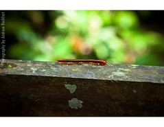 roll on (matteroffact) Tags: park rain fauna forest bug insect flora nikon southeastasia south andrew east national jungle sarawak malaysia borneo tropical tropics millipede d3 malay slimy mulu mulunationalpark matteroffact rochfort andrewrochfort rainforestasia