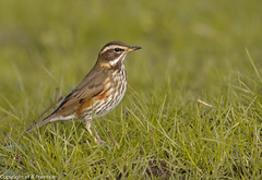 Redwing (Alistair Prentice.) Tags: county ireland winter irish snow weather mall sigma 150 co 500 february prentice northern scandanavian thrush smallest redwings armagh redwing kx migrant portadown scandanavia rspb migrate