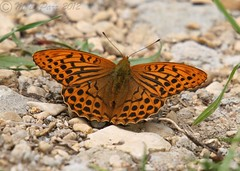 Silver-washed Fritillary - (Argynnis paphia) (M.D.Parr) Tags: uk england english nature butterfly insect britain butterflies insects lepidoptera british martinparr argynnispaphia silverwashedfritillary martindparr mdparr