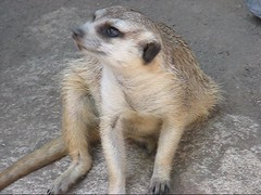 MERKAT 2012 apr 289 (Dancing with Ghosts Graphics) Tags: copyright cute animal mammal meerkat pups graphics small gang mob clan mongoose angola sentry suricate copyrighted burrows suricatta dwg desert merkats diurnal 2013 fawncolored herpestid iteroparous kalahari namib debbrawalker feliform dancingwghosts suricata suricatta dwggraphics botswana oraging siricata majoriae iona