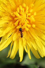 Ant on a dandelion. Olympia, WA (Megan Asche) Tags: plant color macro nature animal work canon bug hair insect photography eyes colorful wasp natural legs ant megan science petal bee busy stamen worker pollen antenna arthropoda scientist invertebrate entomology entomologist arthropod beekeeper olympiawa hymenoptera insecta pollenate pollenator asche hexapoda uploaded:by=flickrmobile flickriosapp:filter=nofilter meganasche