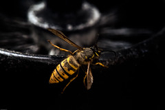 Spring Queen Wasp | #Yellow | FlickrFriday (londondesigner.com) Tags: new hairy macro yellow insect born spring wings nikon wasp wildlife wing indoor queen cycle april dust upclose yellowjacket jaspers 2014 vespulavulgaris flickrfriday londondesigner