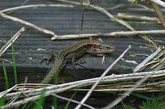 Common Lizard (paulfarrington46) Tags: wild scotland commonlizard dumfies