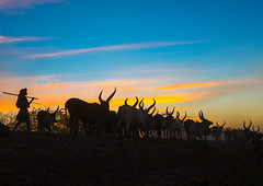 Silhouette of an afar tribe man with his cows at sunset, Afar region, Afambo, Ethiopia (Eric Lafforgue) Tags: africa travel blue sunset cloud color animal silhouette horizontal walking mammal outdoors photography cow cattle adult dusk group horns tribal longhorns drought nomad agriculture ethiopia tribe livestock herd onthemove oneperson herbivore horned hornofafrica nomadic eastafrica herder abyssinia tribesman greatriftvalley ruralscene herbivorous fulllenght onemanonly animalthemes 1people afarregion unrecognizableperson afambo ethio162784