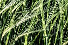 Winter Barley (++sepp++) Tags: plants green nature barley germany de bayern deutschland bavaria natur grain pflanzen spike grn graben getreide gerste hren lnder lechfeld winterbarley wintergerste